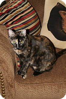 Domestic Shorthair Cat for adoption in New Orleans, Louisiana - Roar