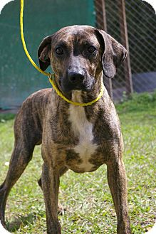 Boxer/Mountain Cur Mix Dog for adoption in Brooksville, Florida - Jude