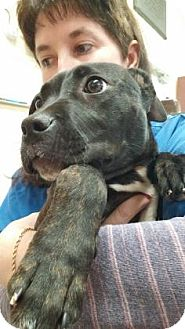 American Pit Bull Terrier Mix Puppy for adoption in Reisterstown, Maryland - Thea