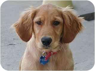 Golden Retriever Dog for adoption in Roundup, Montana - Java