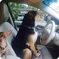 Adopt A Pet :: Chino - Orlando, FL
