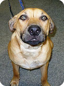 Black Mouth Cur/Rhodesian Ridgeback Mix Puppy for adoption in Eastpoint, Florida - Ann
