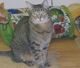 Domestic Shorthair Cat for adoption in Clayton, California - Haley