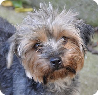 Yorkie, Yorkshire Terrier Mix Dog for adoption in Allentown, Pennsylvania - Magnolia