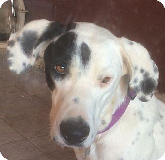 Dalmatian/Great Dane Mix Dog for adoption in Mandeville Canyon, California - Maya