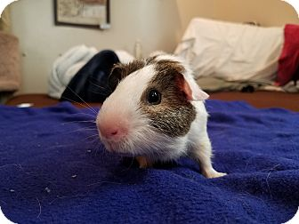 Guinea Pig for adoption in Harleysville, Pennsylvania - Sonny