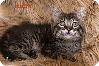 Domestic Mediumhair Kitten for adoption in San Juan Capistrano, California - Fluffy