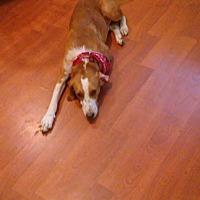 Bloodhound Dog for adoption in Durham, North Carolina - Timmy