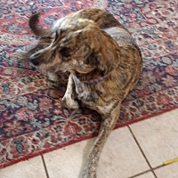 Catahoula Leopard Dog Dog for adoption in Belton, Texas - Bella