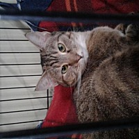 Domestic Shorthair Cat for adoption in Maryville, Tennessee - Esme