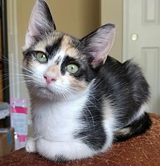 Calico Kitten for adoption in Austin, Texas - Carny