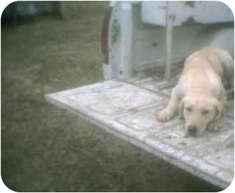 Labrador Retriever Dog for adoption in KELLYVILLE, Oklahoma - SUNSHINE