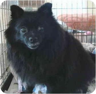 Pomeranian Dog for adoption in Edwards, Illinois - Annie