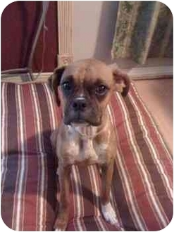 Boxer Mix Dog for adoption in Albany, Georgia - Nola