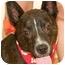 Photo 1 - Dutch Shepherd Mix Dog for adoption in Cincinnati, Ohio - Bridge