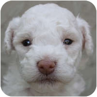 Bichon Frise Mix Puppy for adoption in La Costa, California - Candy