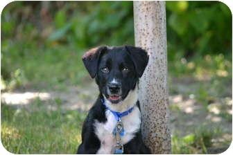 Border Collie/Labrador Retriever Mix Puppy for adoption in Davison, Michigan - Axle
