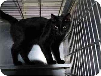 Domestic Shorthair Cat for adoption in El Cajon, California - Ricky