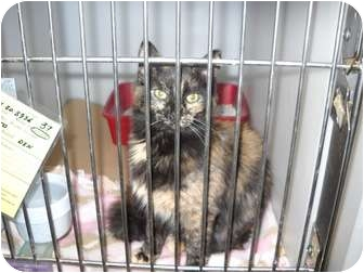 Maine Coon Cat for adoption in Trenton, New Jersey - Anna #37