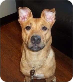 Boxer/German Shepherd Dog Mix Dog for adoption in Oak Ridge, New Jersey - Ruby
