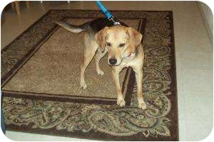 Shepherd (Unknown Type)/Beagle Mix Puppy for adoption in Northville, Michigan - Spencer