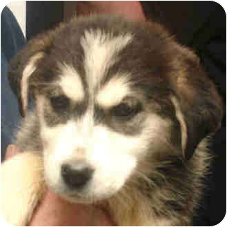 Alaskan Malamute Mix Puppy for adoption in Manassas, Virginia - Francis