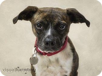 Whippet/Boxer Mix Dog for adoption in Phoenix, Arizona - Brindy
