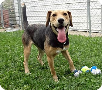 Beagle/Foxhound Mix Dog for adoption in Buffalo, New York - Aggie