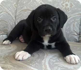 american bulldog lab mix puppy jezebel adopted puppy st louis mo american bulldog 4105