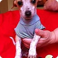 Adopt A Pet :: Freckles - 3 lbs-adoption pen. - Warwick, NY