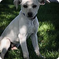 Adopt A Pet :: Kabob - Broomfield, CO
