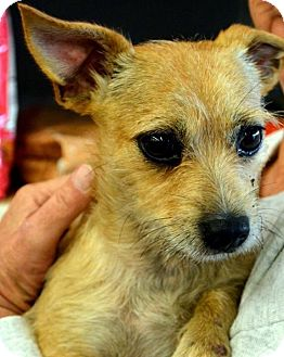 Terrier (Unknown Type, Small)/Chihuahua Mix Dog for adoption in Grand Bay, Alabama - Scruffy