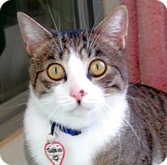 Domestic Shorthair Cat for adoption in Mountain Center, California - Tabbio