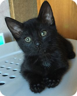 Domestic Shorthair Kitten for adoption in Fort Worth, Texas - Annie