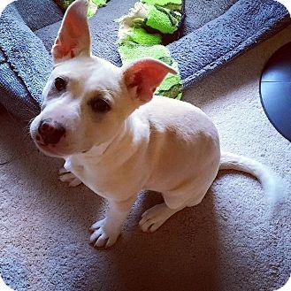 Pit Bull Terrier Mix Puppy for adoption in Lexington, Kentucky - Apple( Zora )