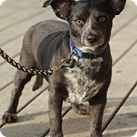 Adopt A Pet :: Oscar - Surrey, BC