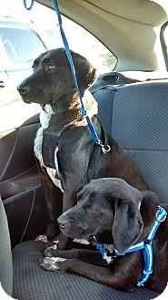 Labrador Retriever/Spaniel (Unknown Type) Mix Dog for adoption in richmond, Virginia - Carlos and Ramona