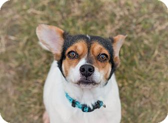 Beagle/Corgi Mix Dog for adoption in Madison, Tennessee - Polly loves kids!