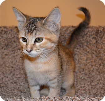 Abyssinian Kitten for adoption in Plano, Texas - BETHANY-GREAT PERSONALITY