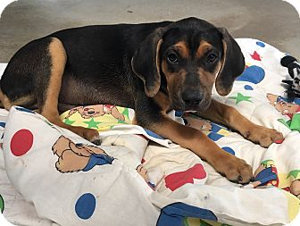 Bloodhound/Treeing Walker Coonhound Mix Puppy for adoption in Russellville, Kentucky - Milo