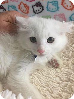Domestic Mediumhair Kitten for adoption in Fountain Hills, Arizona - LIONEL