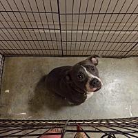 Adopt A Pet :: Dazzle - Tampa, FL