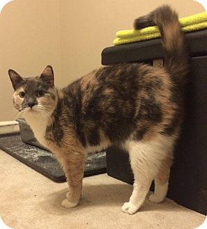 Calico Cat for adoption in Horsham, Pennsylvania - Lilly