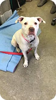 Boxer/American Pit Bull Terrier Mix Dog for adoption in Cadiz, Ohio - MINNIE