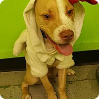 Adopt A Pet :: Patches - Phoenix, AZ