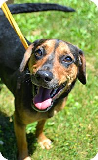 Beagle/Miniature Pinscher Mix Dog for adoption in Michigan City, Indiana - Wendy