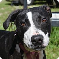 Adopt A Pet :: 10311338 DORA - Brooksville, FL