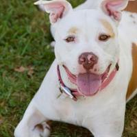 Adopt A Pet :: GRACE - Frederick, MD