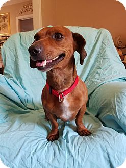 Dachshund Mix Puppy for adoption in Trenton, New Jersey - Oliver (has been adopted)