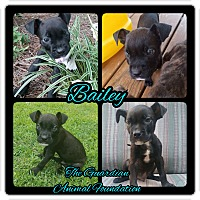 Adopt A Pet :: Bailey - Greenville, NC